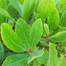 A green bush at my house