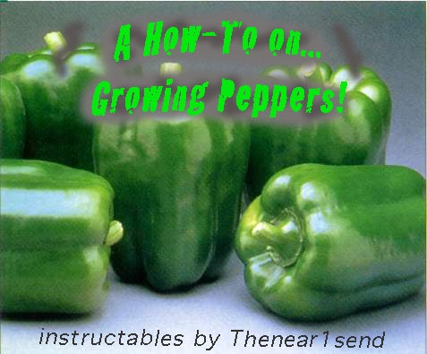 How to Grow Peppers! Propagating Peppers!