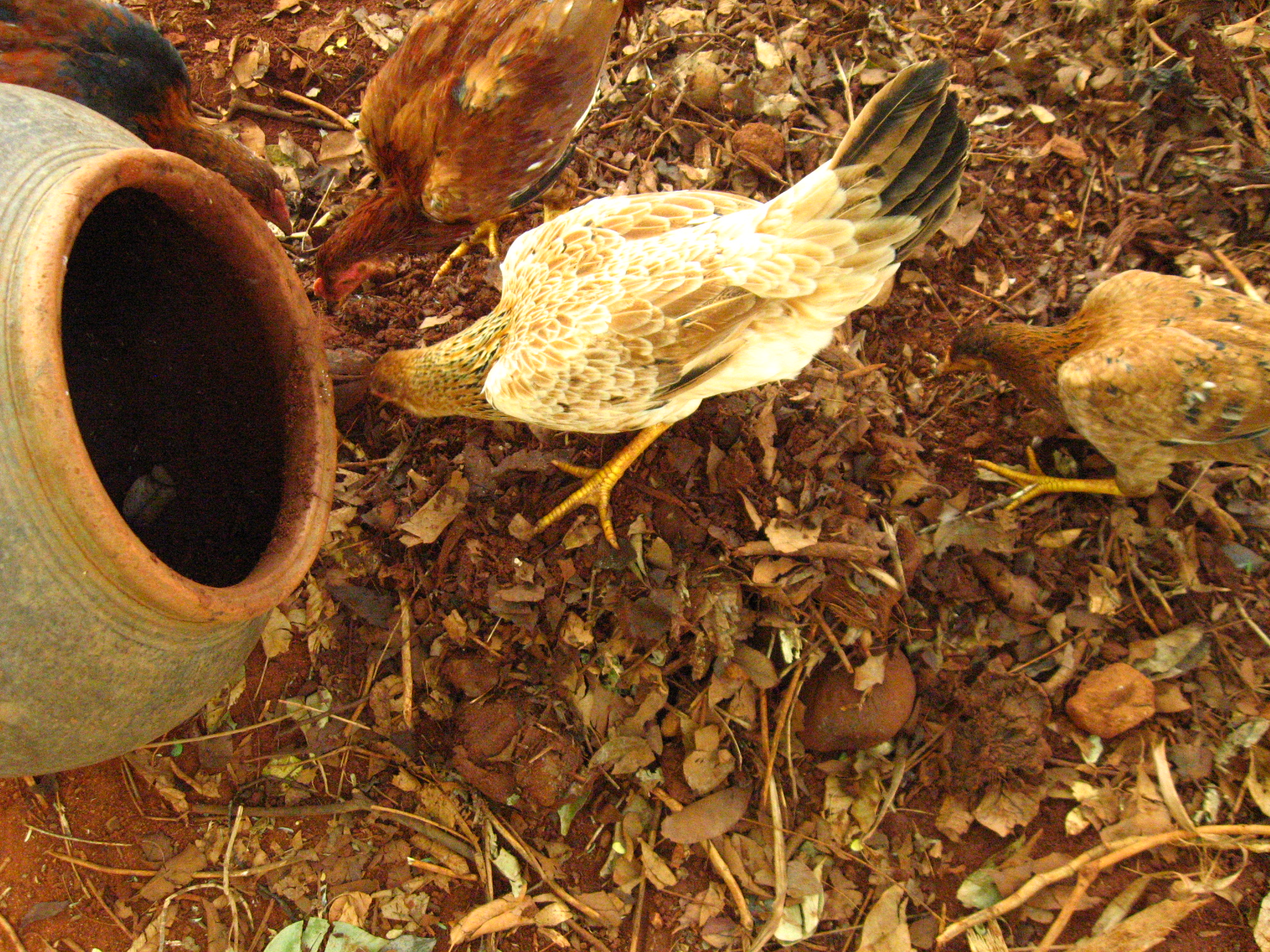 Picture of Growing Termites for Feeding Chicken
