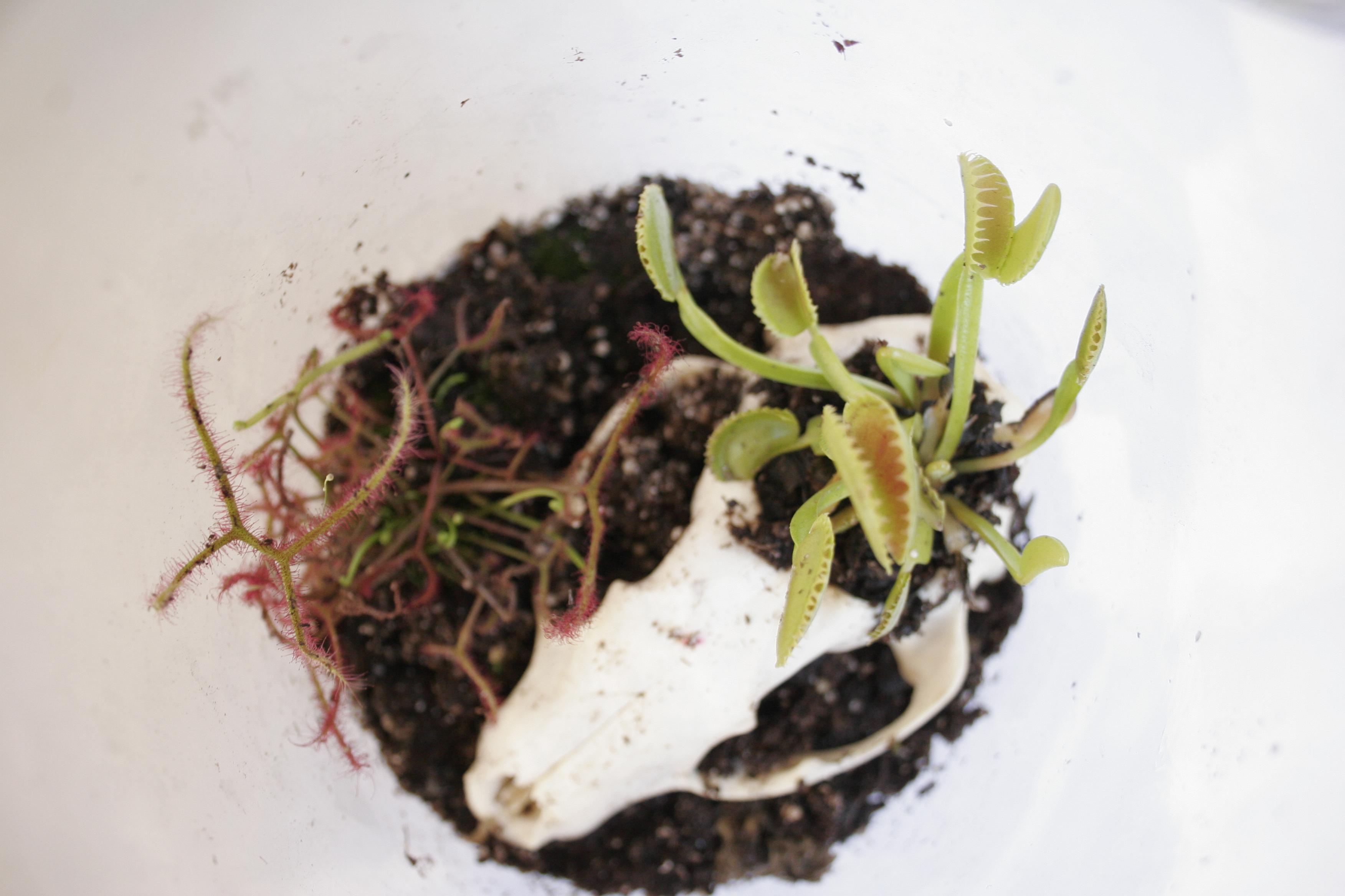 Picture of Carnivorous Plant Terrarium