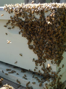 Where Else Will Bees Swarm?