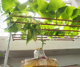 How to Grow Cucumber Indoors