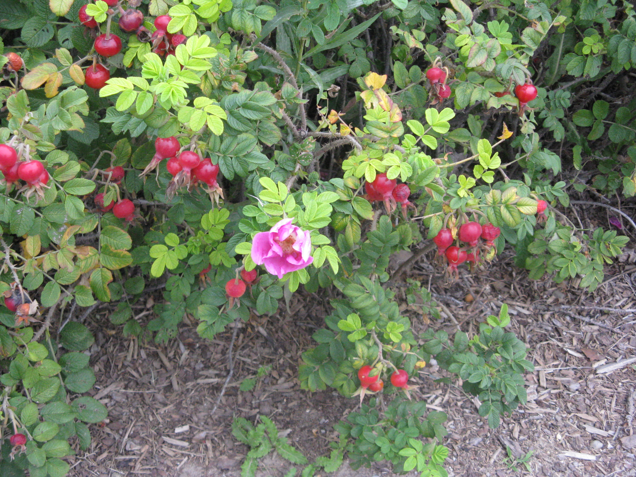 Picture of Identifying Rose Hips
