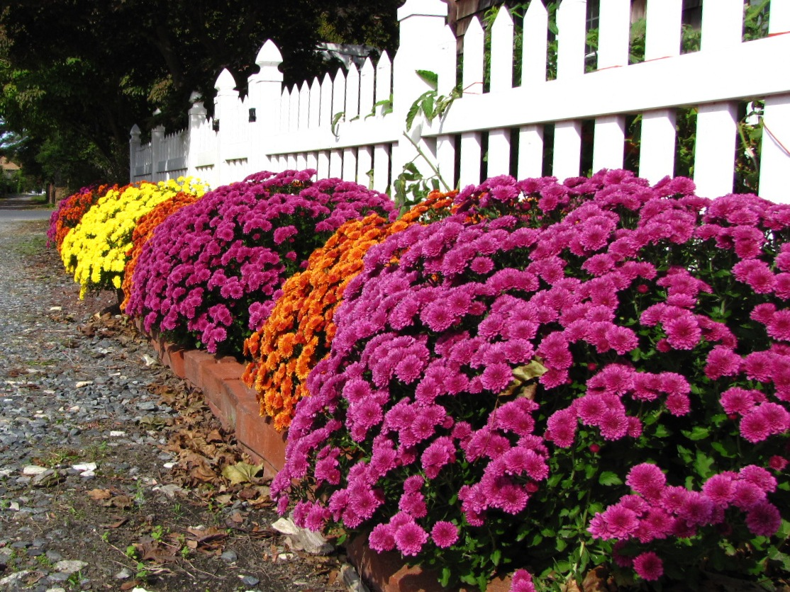 Picture of Placing Mums Alongside Fences Makes an Excellent Fall Scenery