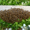 Collecting a Bee Swarm