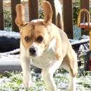 The Wacky Beagle