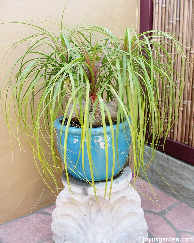 Picture of Ponytail Palm, Elephant's Foot; Beaucarnea Recurvata