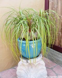 Ponytail Palm, Elephant's Foot; Beaucarnea Recurvata