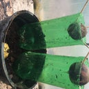 3 in One Recycled Water Saving Avocado Planter