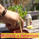 Make More Geranium Plants From One Plant! Easy, Fun Propagating