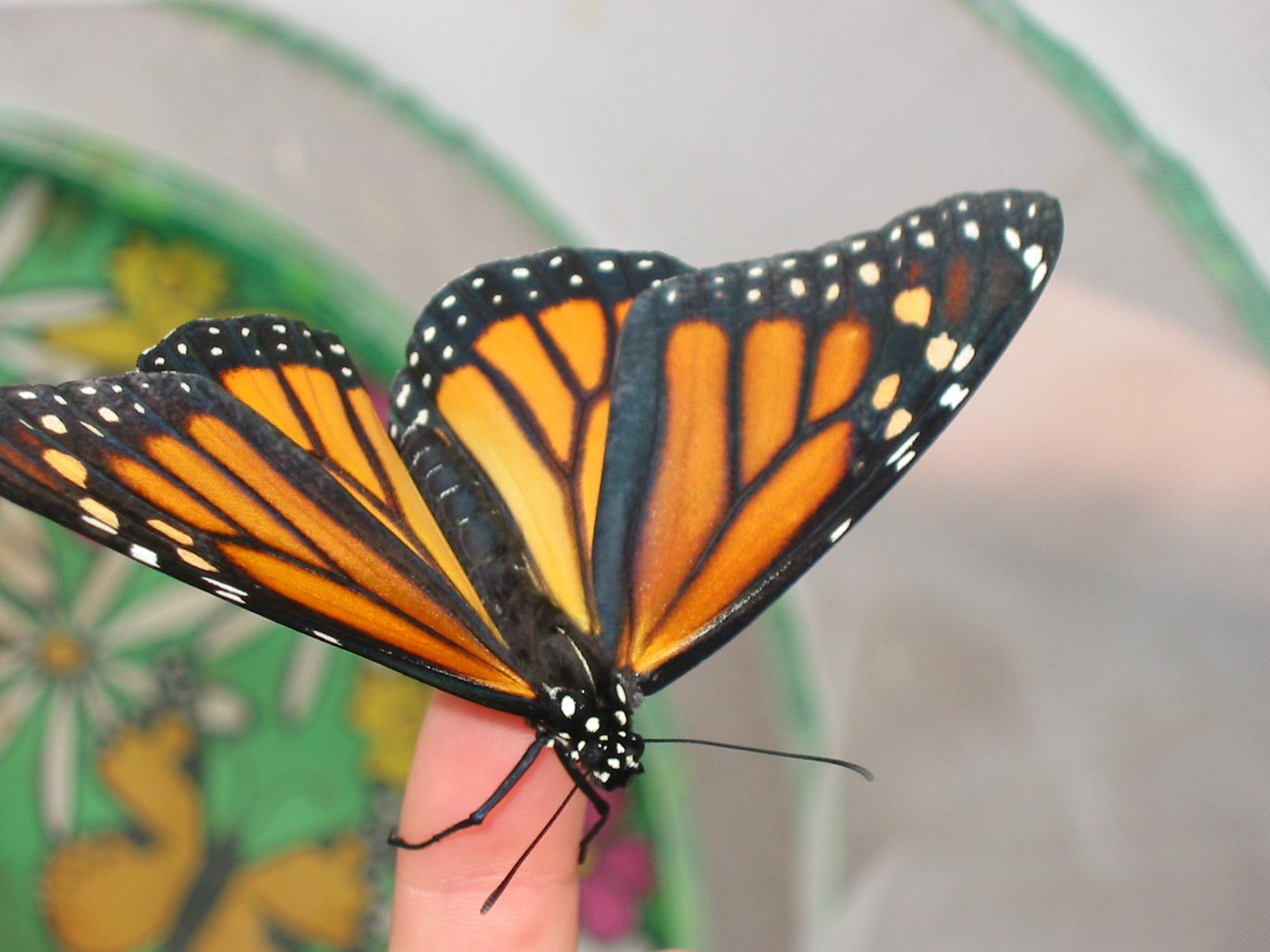 Cool Monarch Butterflies Egg To Butterfly 12 Steps With Inzonedesignstudio Interior Chair Design Inzonedesignstudiocom