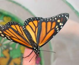 Monarch Butterflies -- Egg to Butterfly