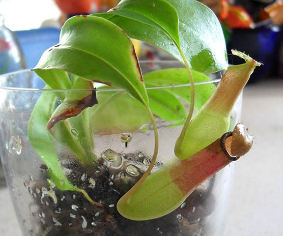 Chic and Simple Carnivorous Plant Terrariums