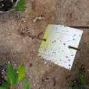 Home-made Insect Sticky Traps!
