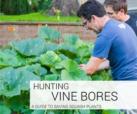 How to Hunt Vine Borers