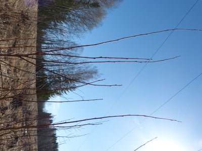 Harvest Willow Rods