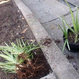 Dividing Aloe Plants