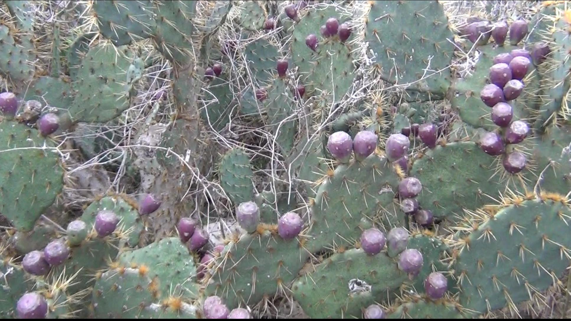Picture of Locate a Fruiting Prickly Pear Cactus