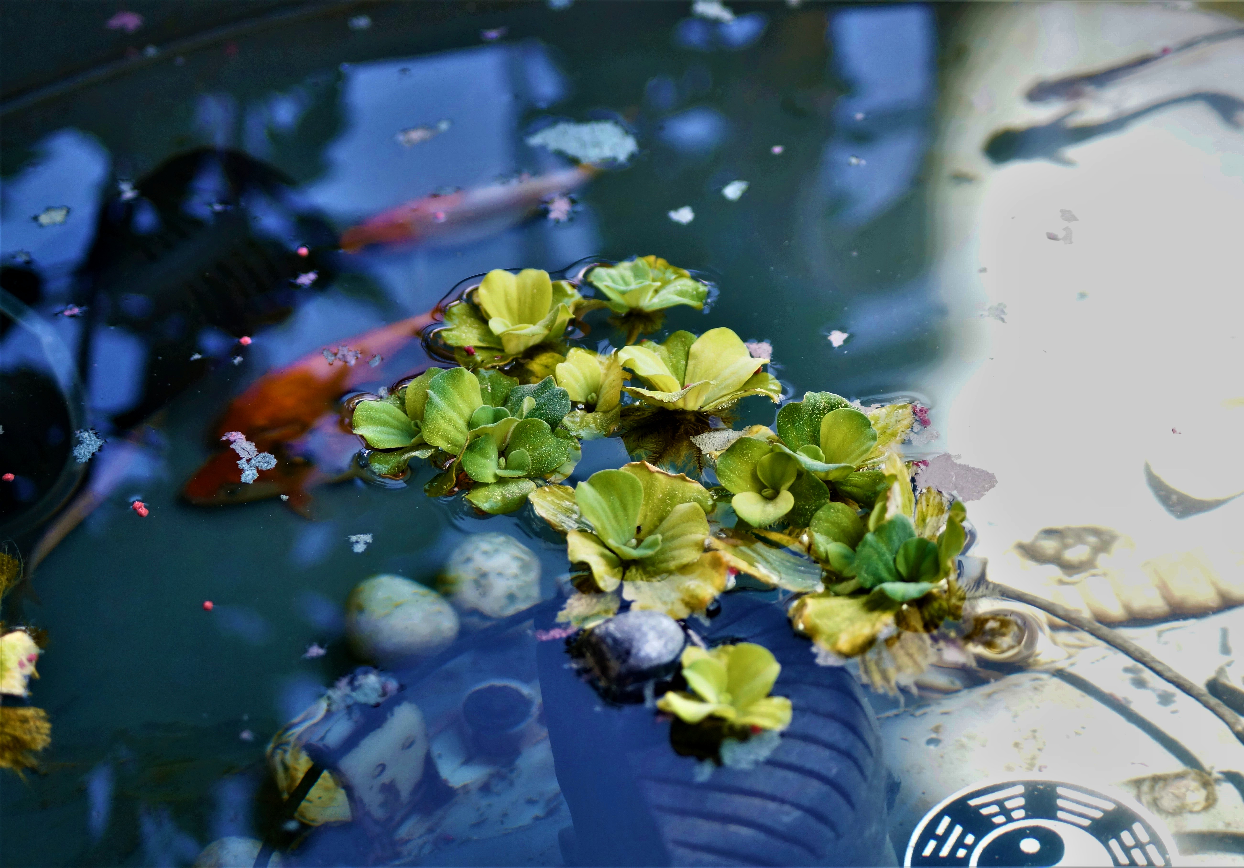Picture of How to Add Moss to a Fish Pond
