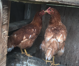 Raising Little Chicks Into FREE Range Chickens