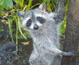 Home-Made Raccoon Bait