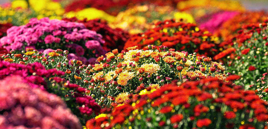 Picture of Mums Comes in Lots of Different Colors