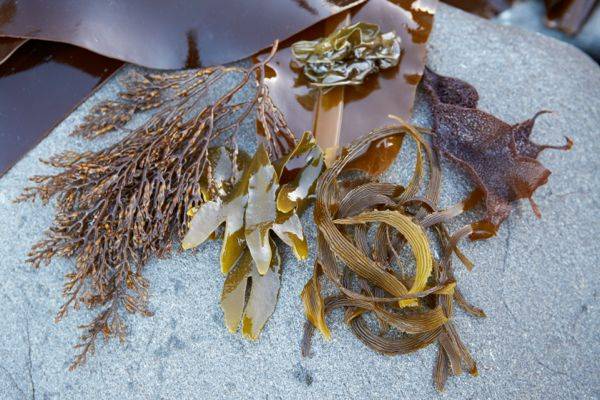 Picture of How to Wildcraft Nori, Wakame and Other Seaweed