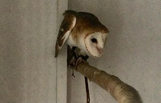 Picture of How to Build a Barn Owl Box