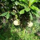 Pumpkin trees