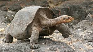 Galapagos Tortoise Shells