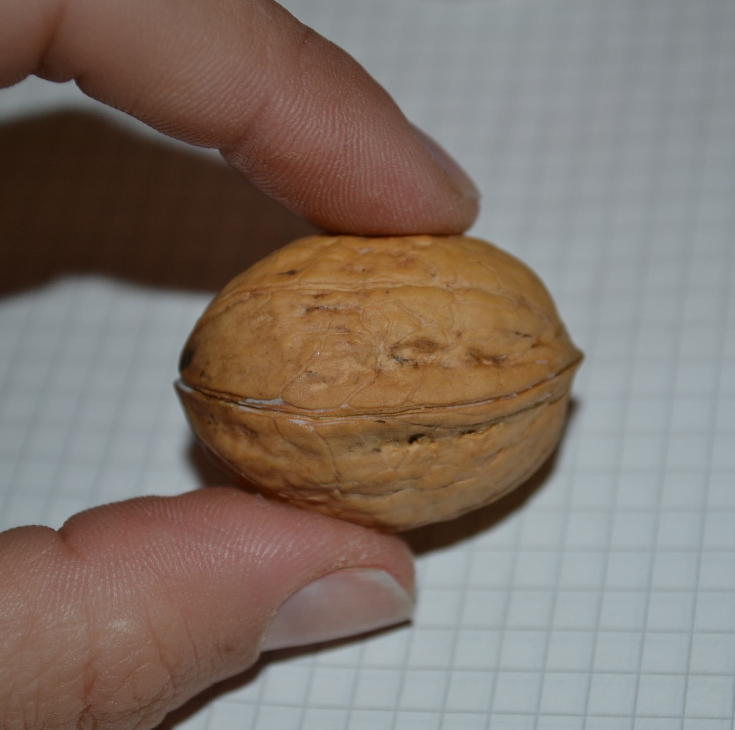 Picture of GLUE THE WALNUT