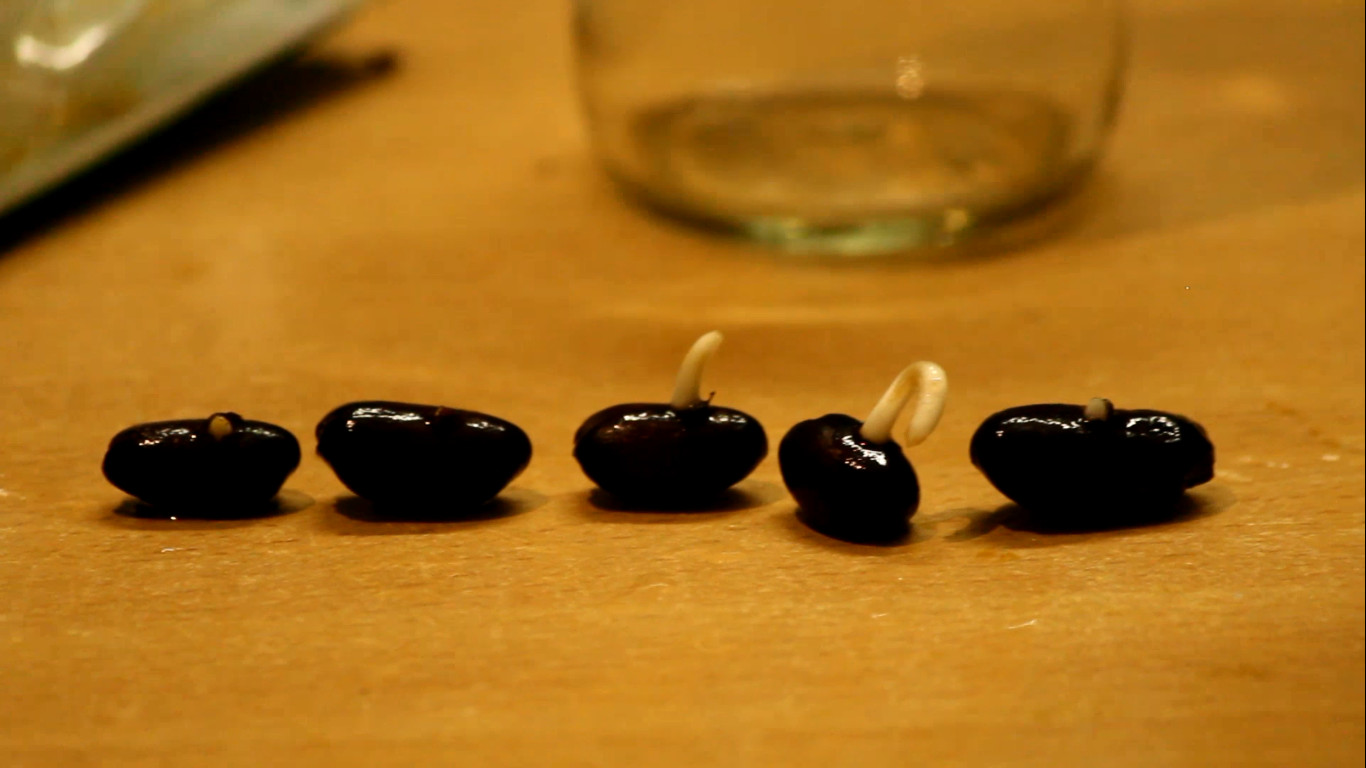 Picture of Germination Method (After: in Bottle)