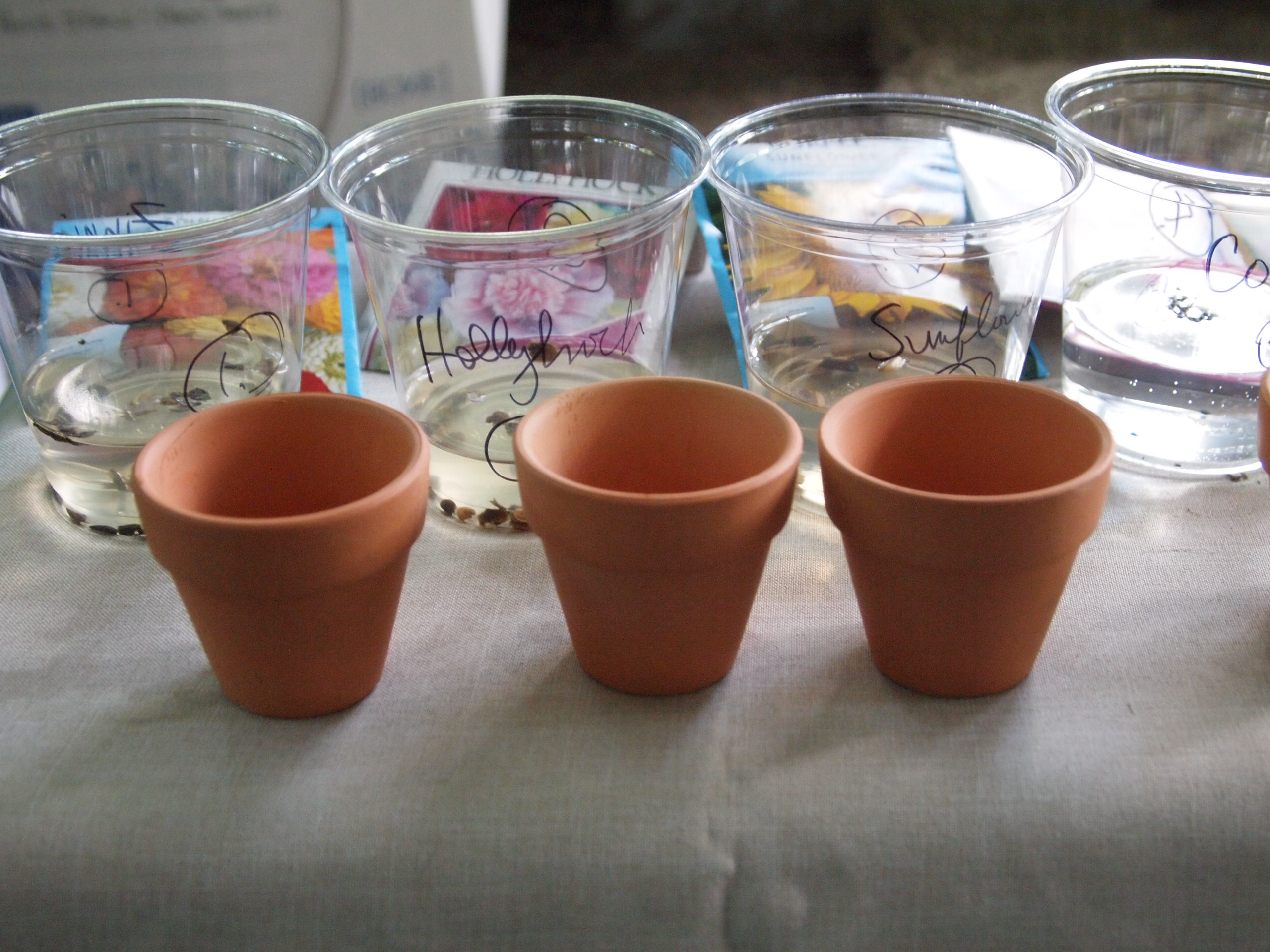 Picture of Planting the Germinated Seeds