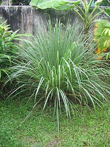 Lemongrass - From the Grocery Store to the Garden (the Tea Was the Inspiration).