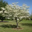 Identifying Dogwood Trees