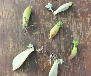 Easy Succulent Propagation