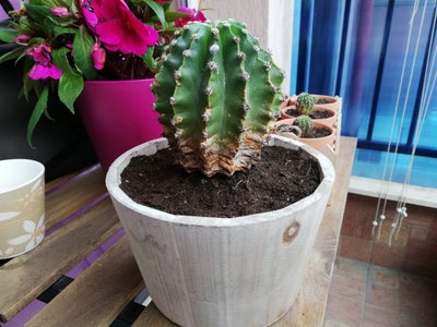 Planting the Cactus in New Pot