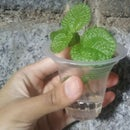 How to Water Propagate Pilea Creeping Charlie (Pilea Nummulariifolia)