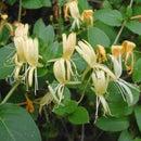 Honeysuckle: Harvesting the Sweet Nectar of Life