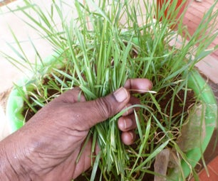 How to Grow Wheat Grass at Home