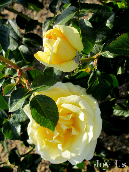 Picture of Sunshine Day Dream /Grandiflora /AARS 2012