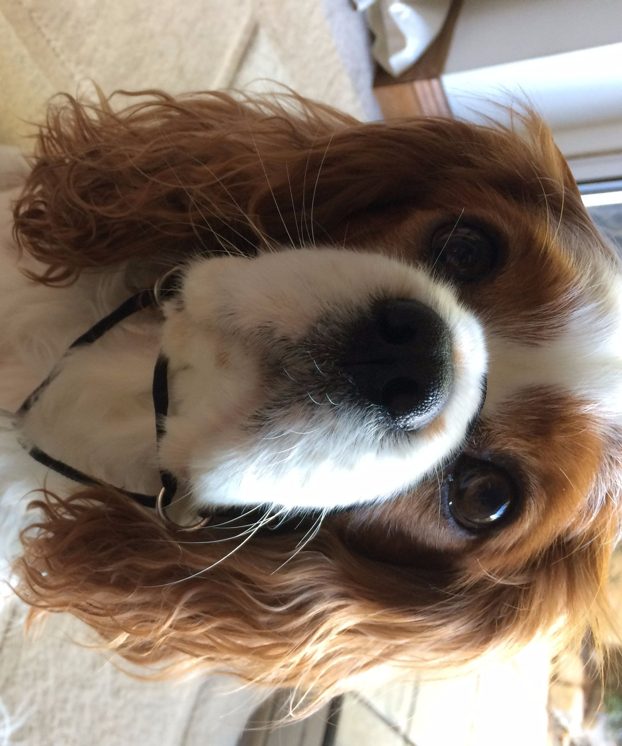 DIY Dog Halter/ Head Collar: 7 Steps (with Pictures)