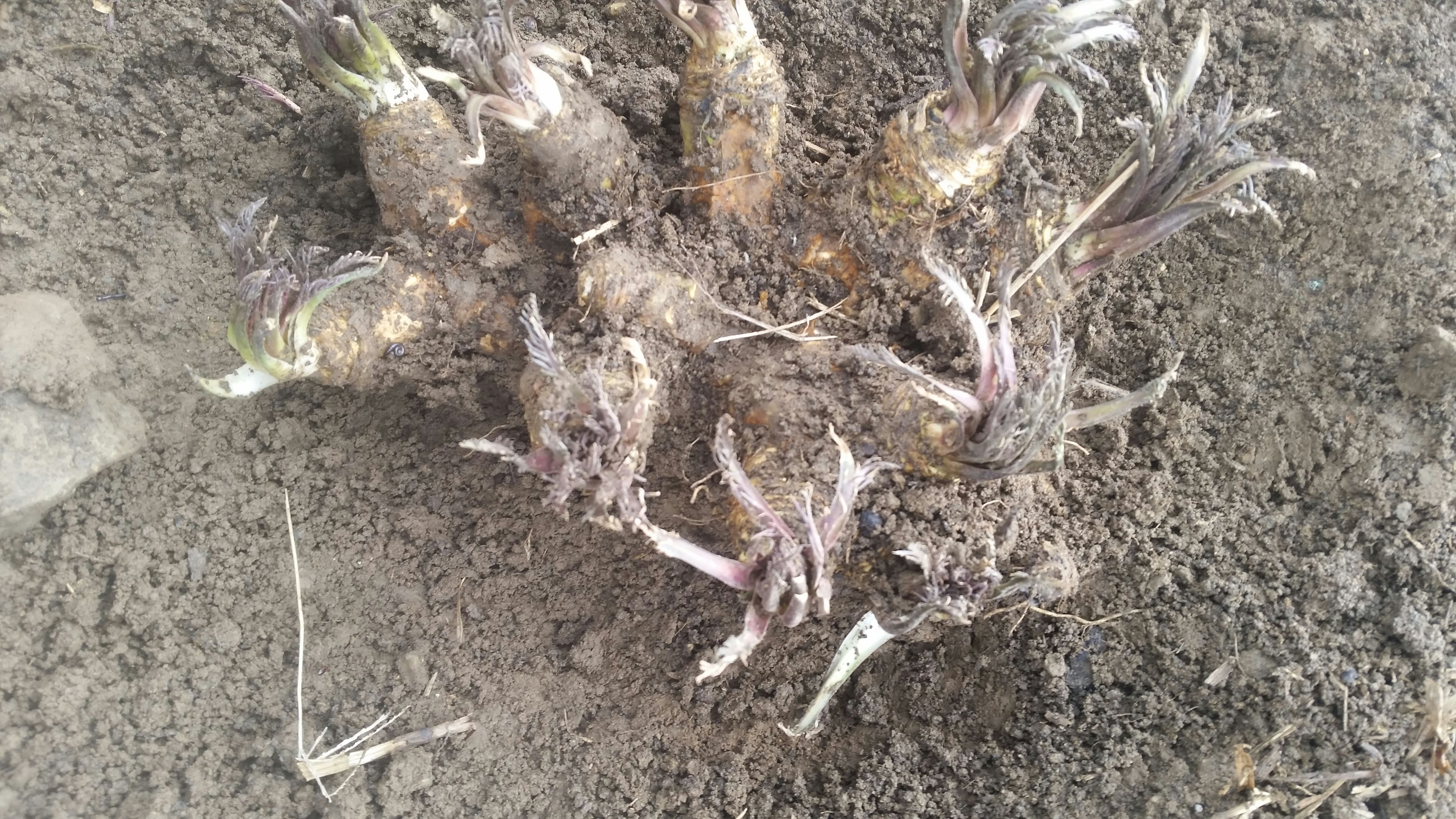Picture of Digging Out the Horseradish