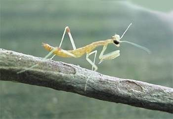 How To Raise Baby Praying Mantis 6 Steps Instructables