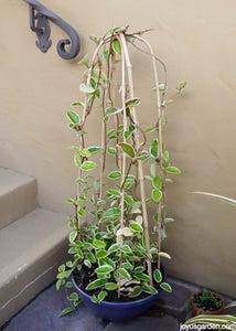 Hoya, Wax Plant; Hoya Is the Genus With Many Species & Varieites