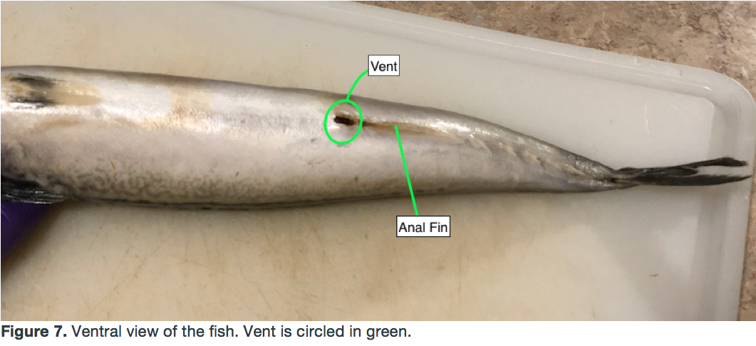 Picture of Locate the Fish's Anus and Urogenital Opening (Vent)