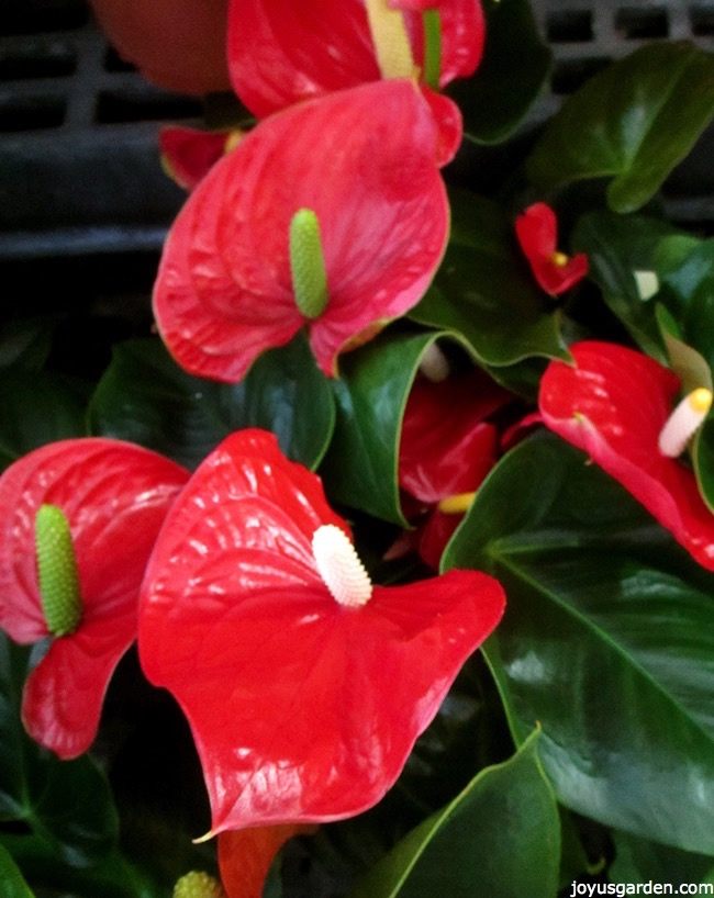 Picture of ANTHURIUMS