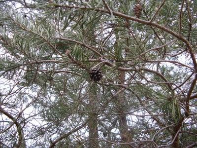 Jack Pine Nuts