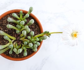 How to Grow and Care for Baby Toes (Fenestraria Rhopalophylla)