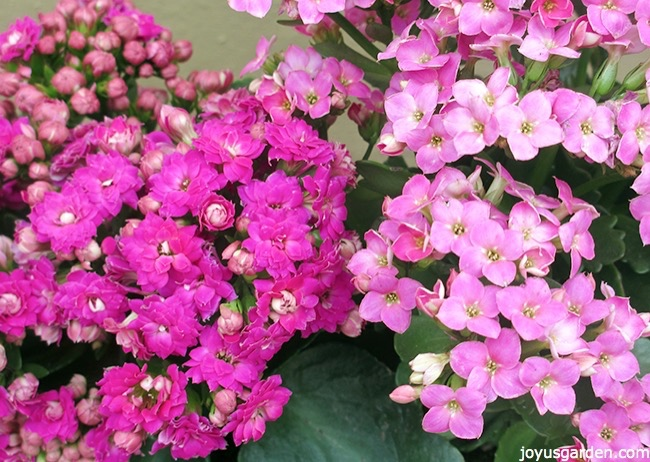 Picture of KALANCHOE